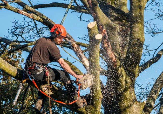Na námestí v bratislavskom Starom meste odstránia strom pre zachovanie bezpečnosti obyvateľov