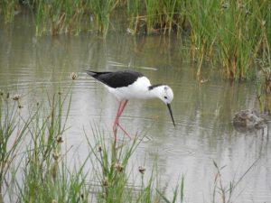 Na Senianskych rybníkoch hniezdili mimoriadne vzácne druhy, rok pripravil prekvapivé zistenia