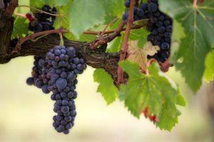 Špeciálna živica LANXESS odstraňuje z vína škodlivé látky