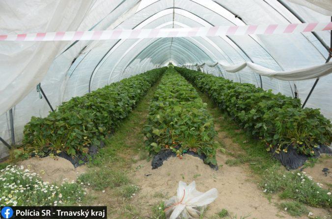 Z fóliovníkov v Kútoch zmizli stovky kilogramov jahôd, zlodeji sa ulakomili aj na vozíky (foto)