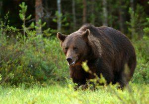 Spišská Belá varuje občanov i turistov, v okolí mesta sa pohybuje takmer 20 medveďov